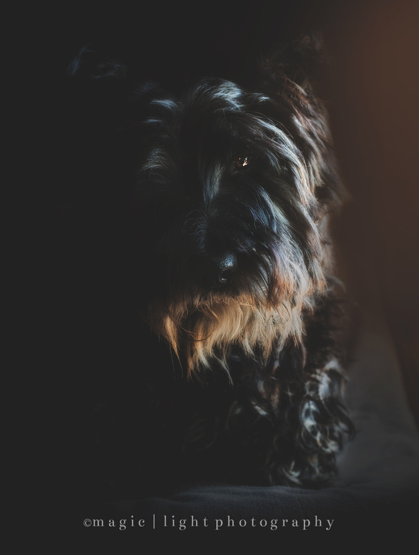 Scottish Terrier.  Dramatic pet photography by Amy Stanley from Magic and Light Collection