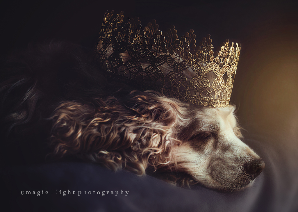 Cocker Spaniel.  Dramatic Pet Photography by Amy Stanley from Magic And Light Collection